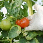 会津薬師トマトの値段を改定